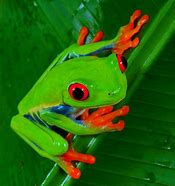 Image result for red eye tree frogs
