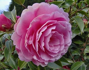 Image result for Camellia Blooms. Size: 202 x 160. Source: www.freeimages.com
