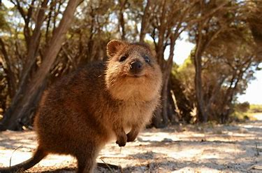 Image result for images of quokkas