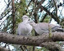 Image result for Free Picture of Two Doves. Size: 127 x 100. Source: clipart-library.com