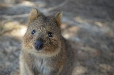 Image result for images of surprised quokkas