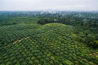 Image result for palm oil forest