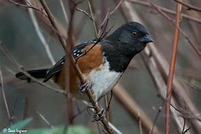 Image result for towhee