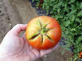 Image result for radial cracking tomato