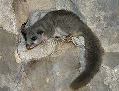 Image result for european dormouse