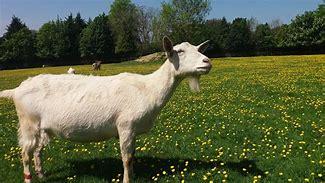 Image result for goat