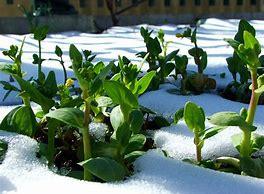 Image result for vegetable garden in winter