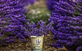 Image result for images of lavender