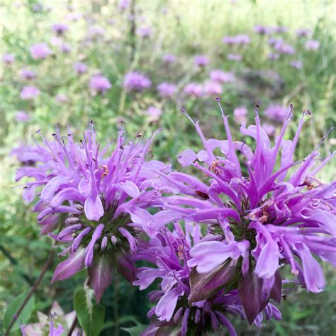 Image result for bees on bee balm