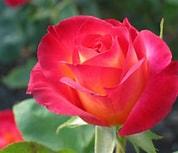 Image result for A Flower. Size: 119 x 102. Source: flower-tops.blogspot.com