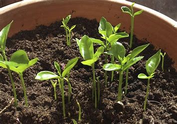 Image result for pictures of orange seedlings