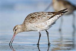 Image result for godwits birds