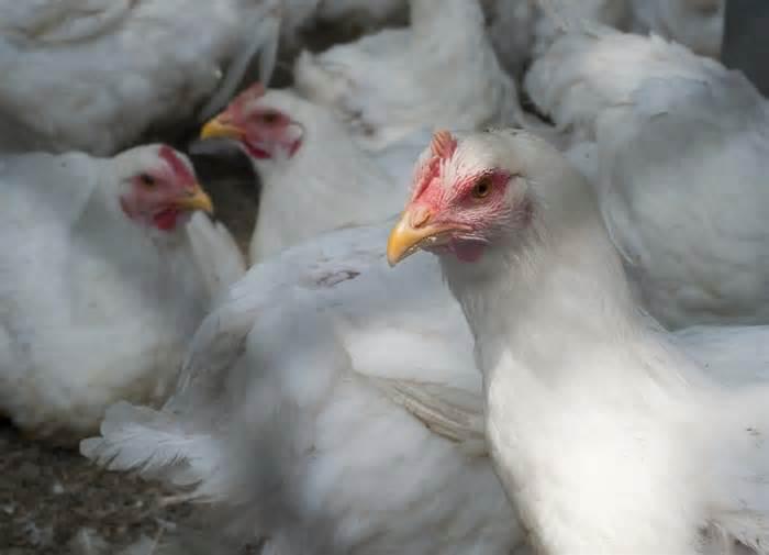Foto: Na China, importações de carne de frango devem aumentar 3% em 2022, para 930 MIL T, diz adido do USDA